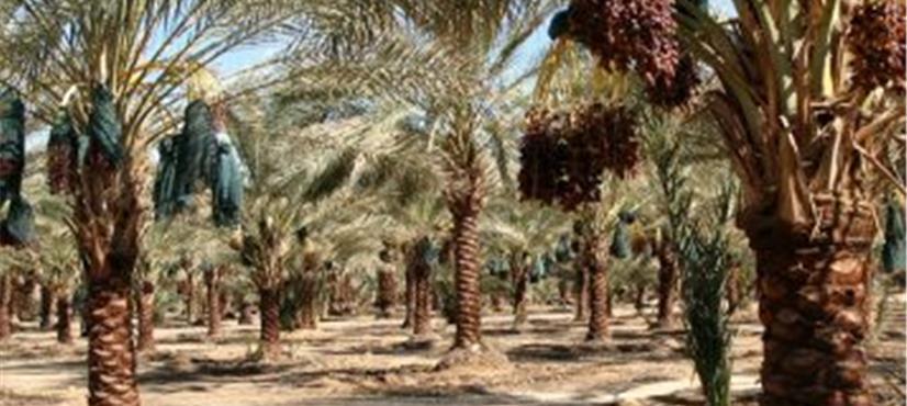 سعودی عرب میں کھجور کے درختوں کی تعداد 3 کروڑ 43 لاکھ تک…