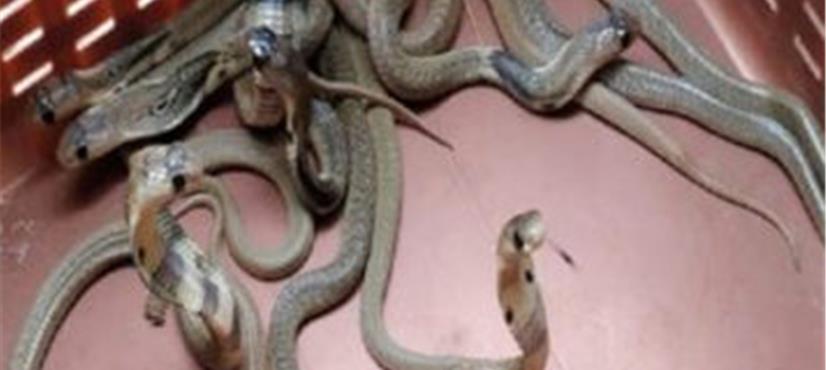 اے سی کے پائپ میں سانپوں کا بسیرا