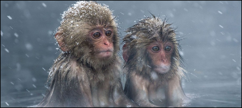 خطرناک جینز کی موجودگی کے انکشاف کے بعد بندروں کا قتل